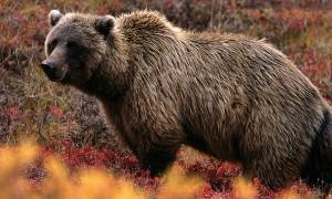 Urs - Vrancea