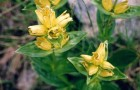 Gentiana lutea – specie rara si planta medicinala miraculoasa - Greenly Magazine