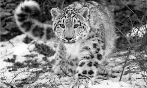 Leopardul zapezilor, specie aflata in pericol conform IUCN Redlist