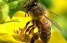 Ce nu te ucide te face mai puternic? Pesticidele ucid albinele