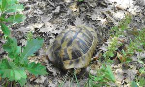 Exemplar Juvenil surprins la liziera pădurii pe dealul Alion, PN Porțile de Fier (5 Iulie 2012)