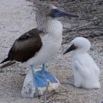 Pescarus cu picioare albastre din Galapagos
