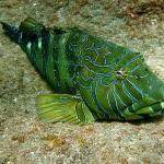 Peste de recif din Galapagos