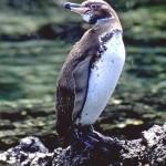 Pinguin de Galapagos