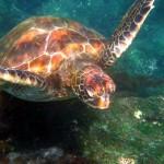 Testoasa marina din Galapagos