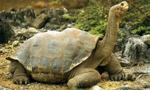 Testoasa gigant din Galapagos