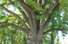 Stejarul lui Avram Iancu - Blaj