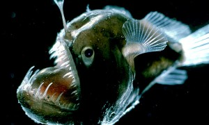 deep-sea-caribbean-creatures-glow-fish_60027_600x450