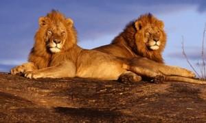 Lei in Serengeti