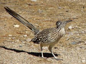 640px-Geococcyx_californianus_-Sonoran_Desert,_Arizona,_USA-8