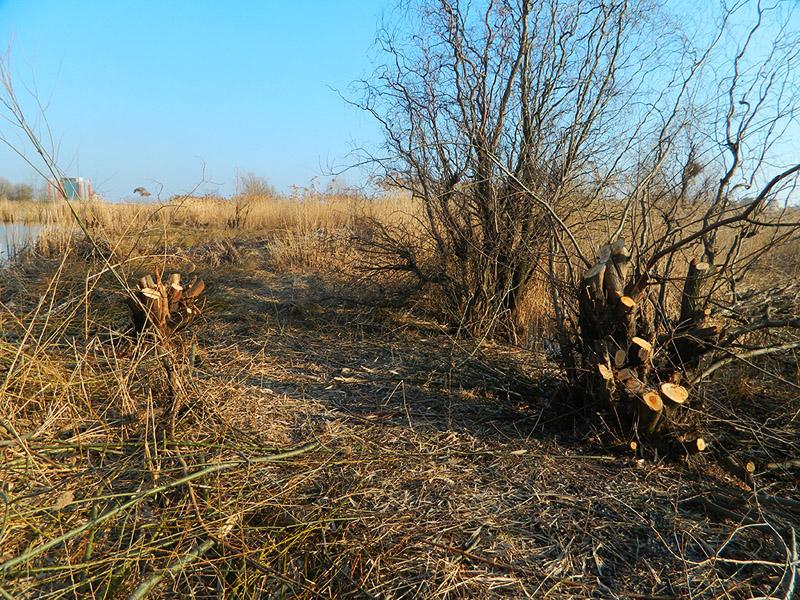 Copaci taiati ilegal in zona Lacului Vacaresti
