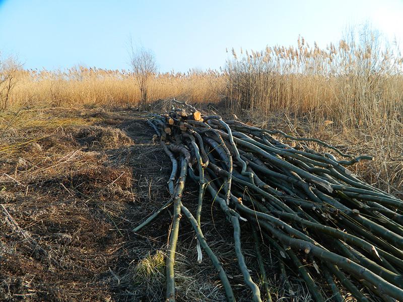 Copaci taiati ilegal in Rezervatia Naturala Vacaresti