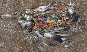 dead bird due to plastic