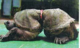 Turtle harmed my plastic ring