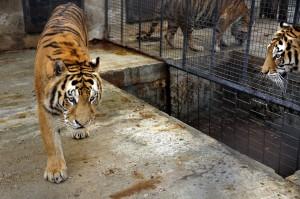 Tigri Onesti Zoo_Mihai Vasile_VIER PFOTEN