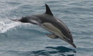 delfinul-comun-delphinus-delphis