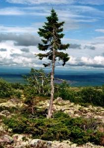 În căutarea celui mai bătrân copac din lume - Greenly Magazine 2