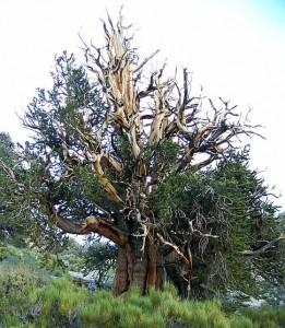 În căutarea celui mai bătrân copac din lume - Greenly Magazine 4