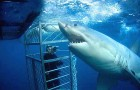 Shark-Cage-Dive-Andrew-Fox-420x0