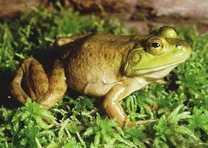 bullfrog_1