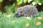 Hedgehog-Steve-Heliczer
