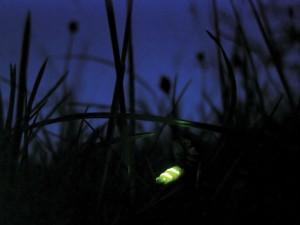 photo_upfront_glowworm