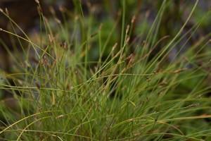 Eleocharis carniolica