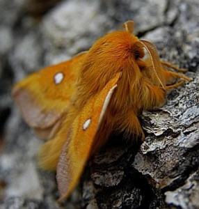 Eriogaster catax