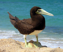 220px-Brown_booby