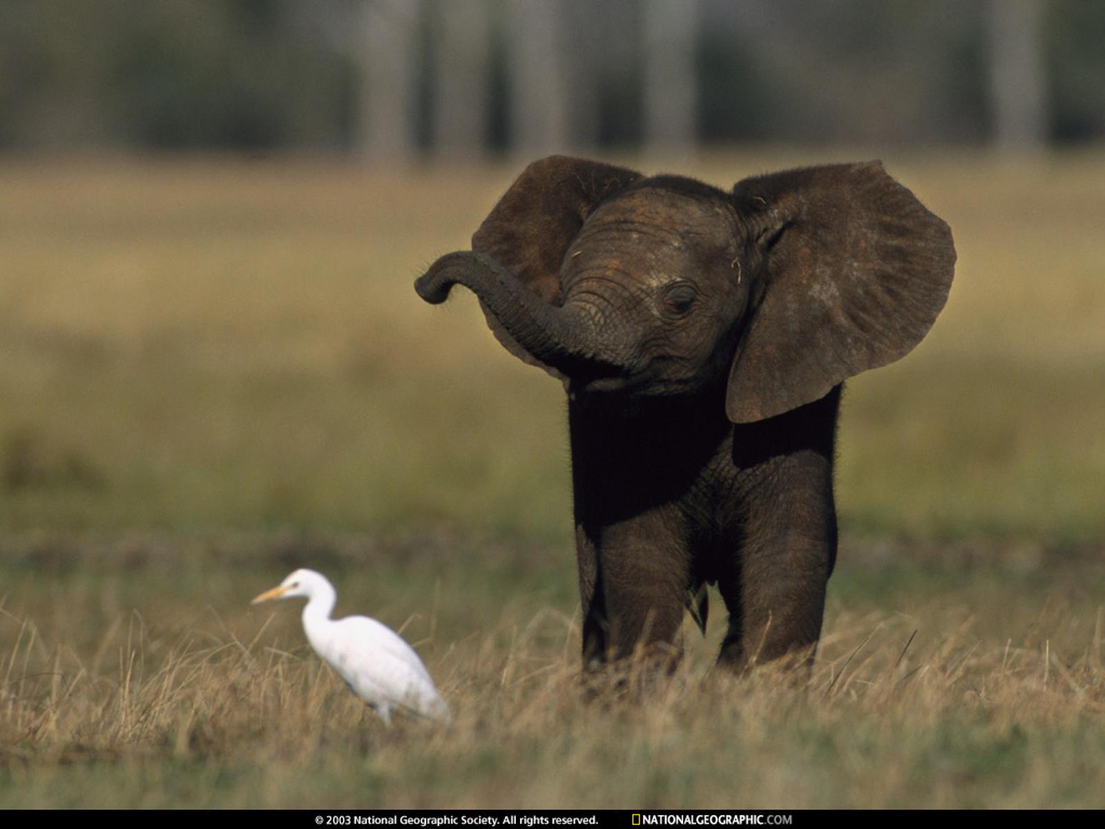 Elephants_wallpapers_292
