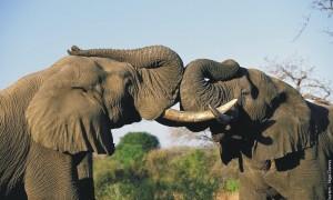 african-elephant-01301164b1