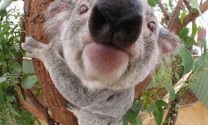 koala-bear-closeup