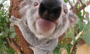 koala-bear-closeup
