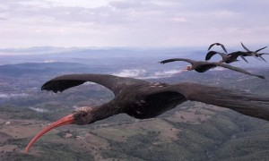 sn-ibises