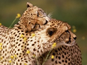 Cheetah-Wildlife-Wallpaper-640x480