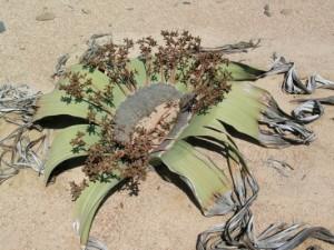 089443-welwitschia-mirabilis