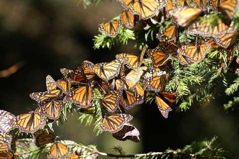 (Monarch Butterfly) Danaus plexippus