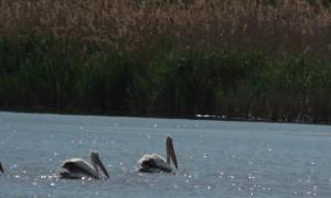 Pelicanul comun - Foto David Ovidiu