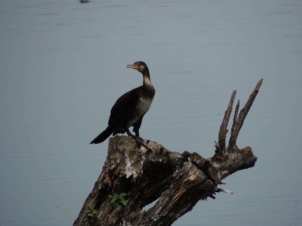 Cormoranul pitic